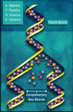 Parent and complementary strands of DNA during replication