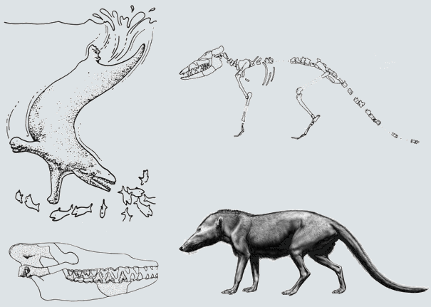 Pakicetus reconstruction chart