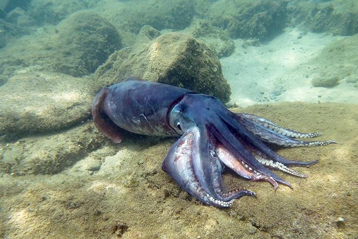 Apologetics Press - The Giant Squid