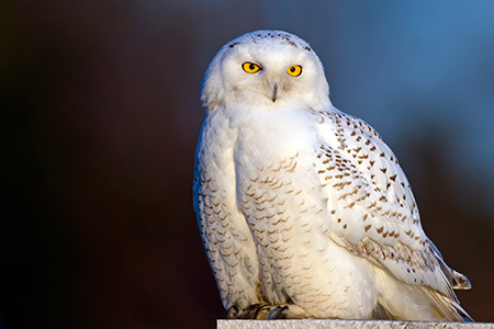 Apologetics Press - Snowy Owls: Designed for the Arctic