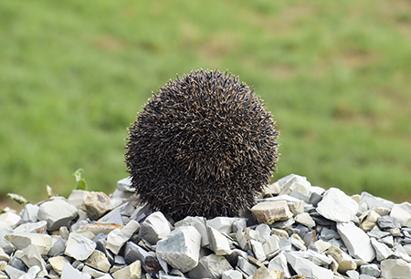 apologetics press hedgehog the land urchin