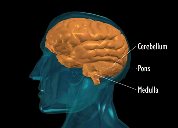 Graphic showing three parts of the brain stem