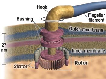Flagellum motor